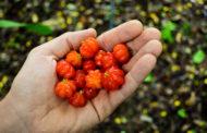 Entenda os benefícios da Pitanga (Eugenia Uniflora L.) para a sua saúde